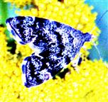 Spreizflügel-Nesselmotte(Anthophila fabriciana(L.1767)) auf Rainfarn(Tanacetum vulgare(L.))