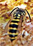 Gemeine Wespe(Vespula vulgaris(L. 1758)) beim Trinken an einer Wasserpfütze
