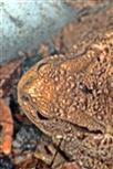 Erdkröte(Bufo bufo(L. 1758)) in ihrem Tagesversteck