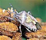 Beerenwanze(Dolycoris baccarum(L. 1758)) auf Rainfarn(Tanacetum vulgare(L.))