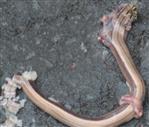 Rest einer überfahrenen Blindschleiche(Anguis fragilis(L. 1758))