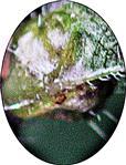 Pflanzengalle der Gallmücke(Dasyneura urticae(Perris 1840)) an der Großen Brennnessel(Urtica dioica(L.))
