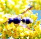 Faltenwespe (Ancistrocerus gazella(Panzer 1798)) beim Blütenbesuch