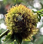 Schlafapfel der Schlafapfel-Gallwespe(Diplolepis rosae(L. 1758))