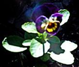 Gezüchtetes Stiefmütterchen(Viola)