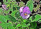 Stiefmütterchen(Viola) 003