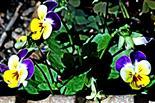 Stiefmütterchen(Viola) 004