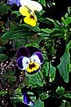 Stiefmütterchen(Viola) 005