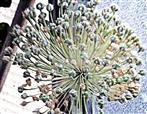 Fruchtstand eines Acker-Lauches(Allium ampeloprasum(L.))