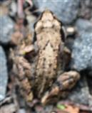 Junger Grasfrosch(Rana temporaria(L. 1758))
