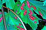 Bräunliche Trockenheitsflecken auch an Blättern des Bergahorns(Acer pseudoplatanus(L.))