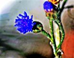 Knospen einer Kornblume(Cyanus segetum(Hill))