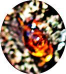 Aus der Rinde eines Zwetschgenbaumes(Prunus domestica ssp. domestica(L.)) ausgetretener Harztropfen