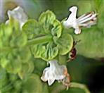 Blüten eines Basilikums(Ocimum basilicum(L.))
