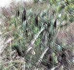 Breitblättriger Rohrkolben(Typha latifolia(L.)) im Straßengraben