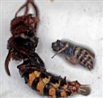 Größenvergleich Hornisse(Vespa crabro(L. 1758)) sowie Gemeine Wespe(Vespula vulgaris(L. 1758)) ertrunken