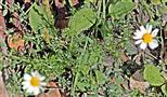 Geruchlose Kamille(Tripleurospermum inodorum(L.) Sch. Bip.)