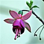 Blüte einer Fuchsie(Fuchsia(L.))