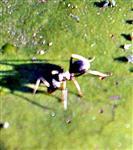 Schwarze Wegameise(Lasius niger(L. 1758)) September 2018