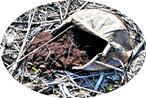 Dickschaliger Kartoffelbovist(Scleroderma citrinum(Pers.))