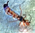 Gemeiner Ohrwurm(Forficula auricularia(L. 1758)) (Unterseite)