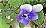 Blüte eines Stiefmütterchens(Viola)