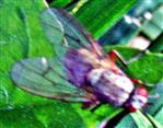Fliege Coenosia attenuata(Stein 1903))(weiblich)