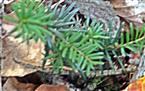 Naturverjüngung Gemeine Fichte(Picea abies(L.) H. Karst.)
