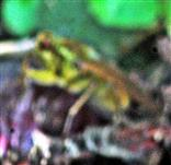 Gelbe Dungfliege(Scathophaga stercoraria(L. 1758))