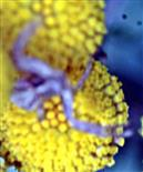 Braune Krabbenspinne(Xysticus cristatus(Clerck 1757)) auf Rainfarn(Tanacetum vulgare(L.))