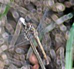 Große Heidelibelle(Sympetrum striolatum(Charpentier 1840))(weiblich)