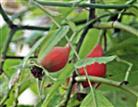 Diesjährige Hagebutten(Früchte der Rose(Rosa(L.))