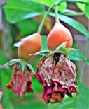 Hagebutten noch mit Kronblättern der Rose(Rosa(L.))