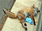Verkehrsopfer Rotfuchs(Vulpes vulpes(L. 1758))
