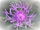 Berg-Flockenblume(Cyaneus montanus((L.)Hill.)