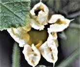 Blüte eines Hokkaido-Kürbis(Curcurbita maxima)