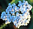 Ungarische Wiesen-Schafgarbe(Achillea pannonica(Scheele))