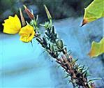 Gemeine Nachtkerze(Oenothera biennis(L.))