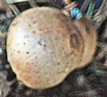 Hartschaliger Kartoffelbovist(Scleroderma citrinum(Pers.))