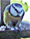 Blaumeise(Cyanistes caeruleus(L. 1758)) im Futterhaus