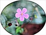 Blüte eines Stinkenden Storchschnabels(Geranium robertianum(L.))