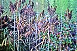 Schilf(Phragmites)