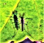 Zuckmücke(Chironomus indet.)