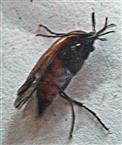 Wespenfächerkäfer(Meteocus paradoxus(L. 1758))
