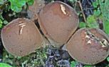 Birnen-Stäubling(Lycoperdon piriforme(Schaeff.; Pers.))