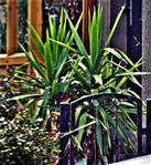 Yucca-Palme(Palmlilie)(Yucca(L.))
