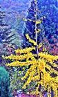 Ginkgobaum im Herbst