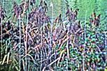 Schilf(Phragmites australis(Cav.) Trin. ex Steud.) am Ufer des Lohmühlenweihers