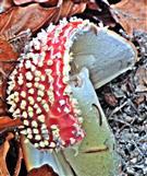 Fliegenpilz(Amanita muscaria(L. ; Fr.) Lamarck)