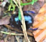 Gemeiner Mistkäfer(Geotrupes stercorarius(L. 1758)) unterwegs